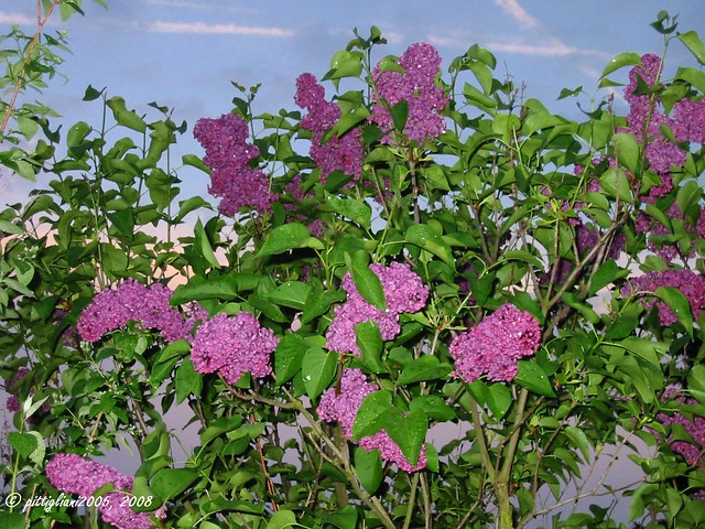 flieder lilac syringa vulgaris flickr photo sharing. Black Bedroom Furniture Sets. Home Design Ideas