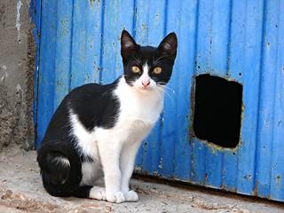 Cat, Castrillo, Spain