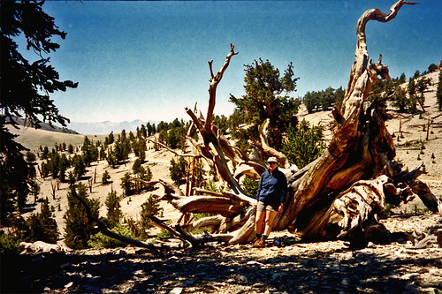 Methuselah Tree (11000 feet)
