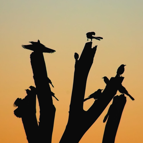 morning newmexico bird nature birds animal silhouette sunrise bravo searchthebest wildlife flock birding silhouettes bosque ave ornithology squarecrop bosquedelapache avian 2007 nwr supershot magicdonkey featheryfriday outstandingshots abigfave goldenphotographer naturessilhouettes