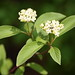 Red Osier Dogwood - Photo (c) Varina Crisfield, some rights reserved (CC BY-NC-SA)