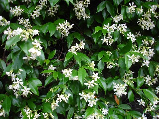 how to grow star jasmine