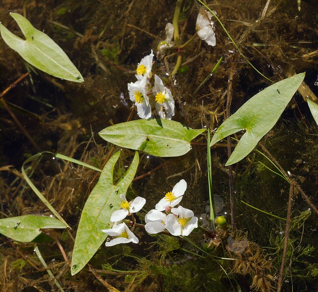 Sagittaria cuneata 'Arrowhead/Wapato' | Flickr - Photo ...
