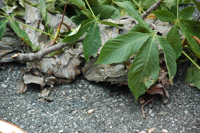Downed Hornet Nest