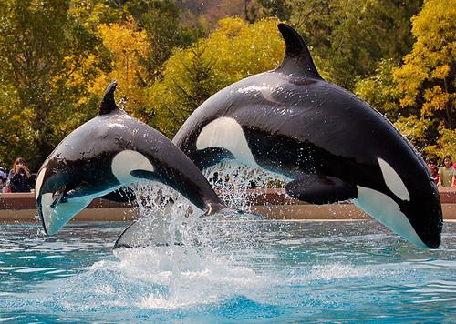 虎鯨表演,圖片提供Robert Dewar
