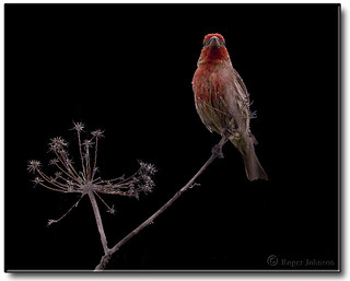 House finch on black