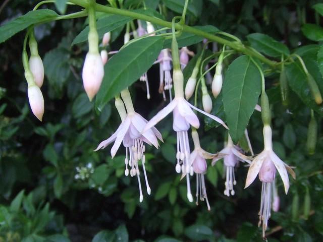 White fuchsia fuchsia magellanica alba flickr photo for Fuchsia magellanica