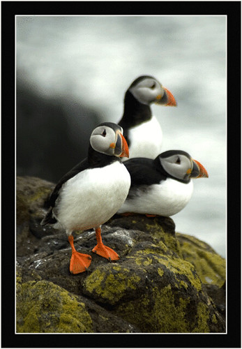 Three Cool Puffins