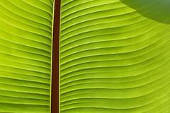 spiral(0.0), flower(0.0), yellow(0.0), plant(0.0), circle(0.0), plant stem(0.0), petal(0.0), pattern(1.0), leaf(1.0), line(1.0), green(1.0), close-up(1.0), banana leaf(1.0),