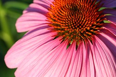 Purple Coneflower 34