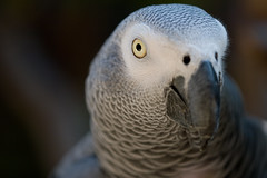 Beautiful African Grey