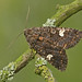 Dot moth - Photo (c) Rachel, some rights reserved (CC BY-NC-ND)