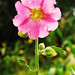 Flor rosa por Mando_7