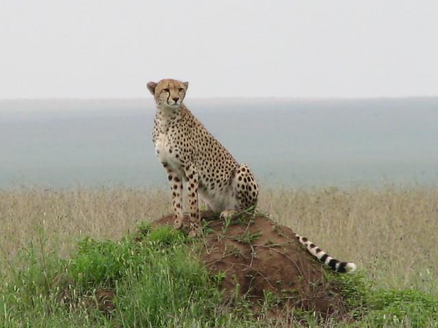 Cheetah (Serengeti)