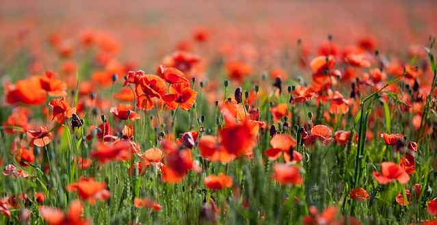 Invasion of the poppy snatchers