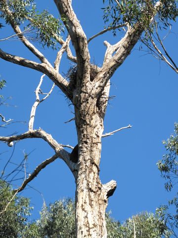 Buddy enjoys seeing the osprey nest, lake and koalas.