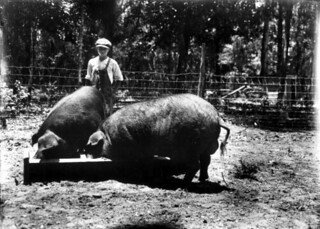 Poland China boars raised by J.C. Herlong: Micanopy, Florida