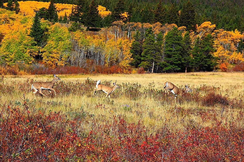 IMG 8266 White-Tailed Deer Running, Glacier National Park