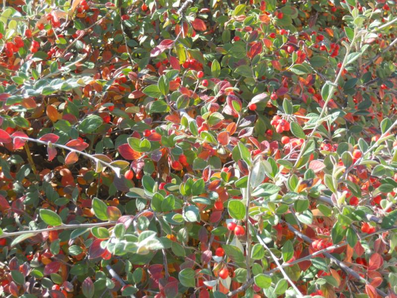 Cotoneaster wardii en otoño