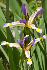 flower(1.0), iris versicolor(1.0), plant(1.0), wildflower(1.0), flora(1.0),