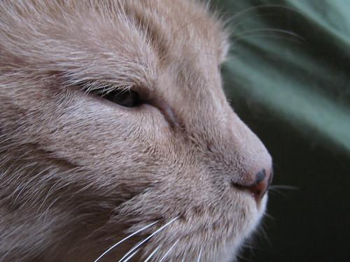 buff, cat, feline, animal, indoor, pet, mac… IMG_0251.JPG