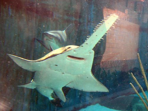 水族館裡的小齒鋸鰩( Stacina攝)