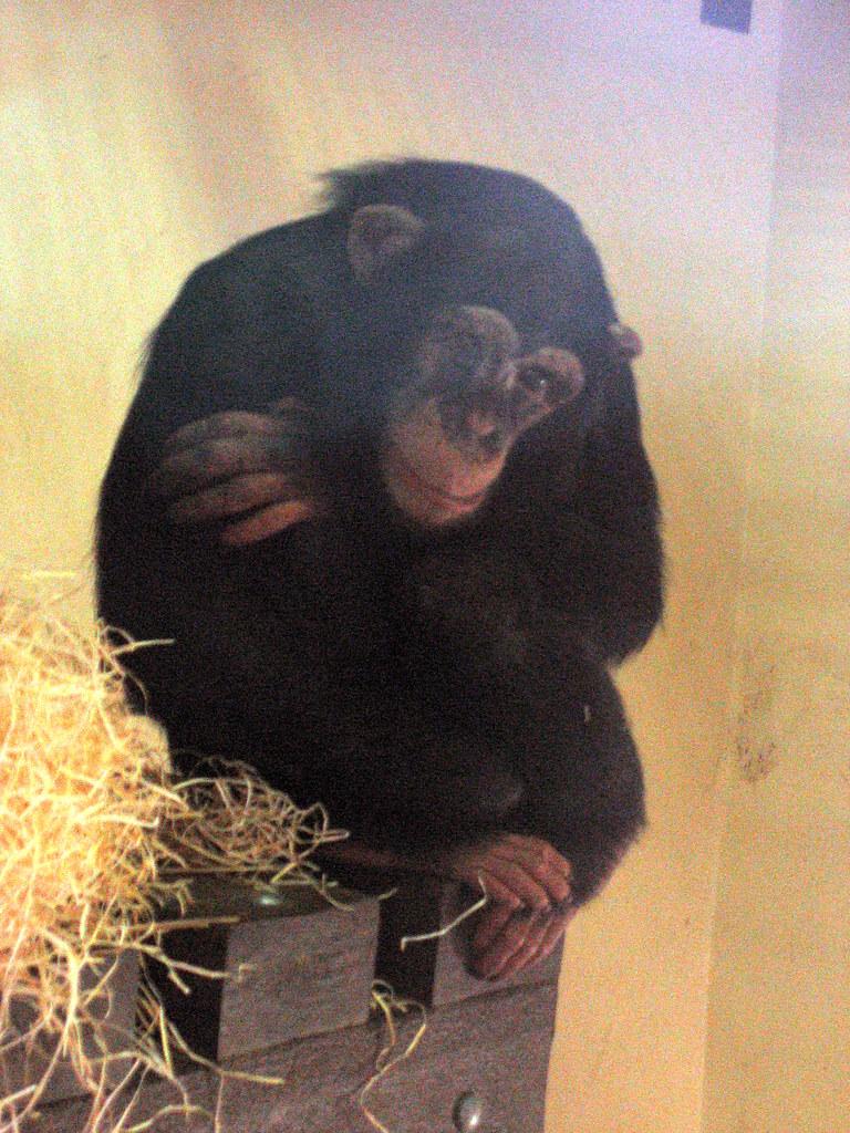 Depressed Chimp