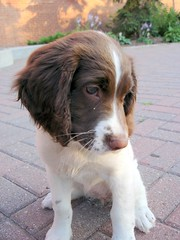 dog breed(1.0), animal(1.0), kooikerhondje(1.0), dog(1.0), welsh springer spaniel(1.0), pet(1.0), stabyhoun(1.0), small mã¼nsterlã¤nder(1.0), drentse patrijshond(1.0), brittany(1.0), spaniel(1.0), french spaniel(1.0), english springer spaniel(1.0), carnivoran(1.0),