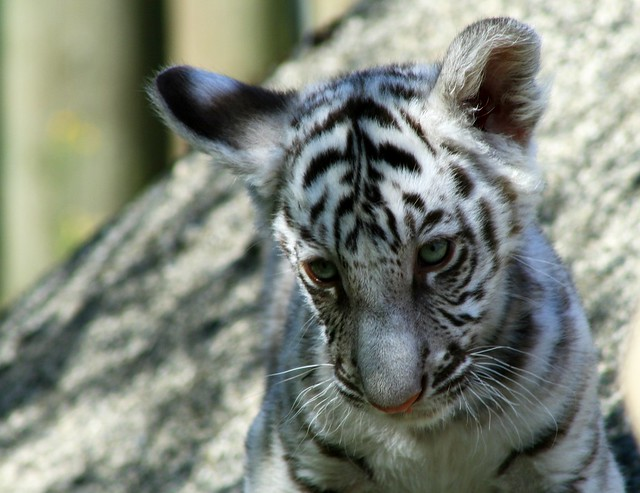 Cute Tiger | Flickr - Photo Sharing!