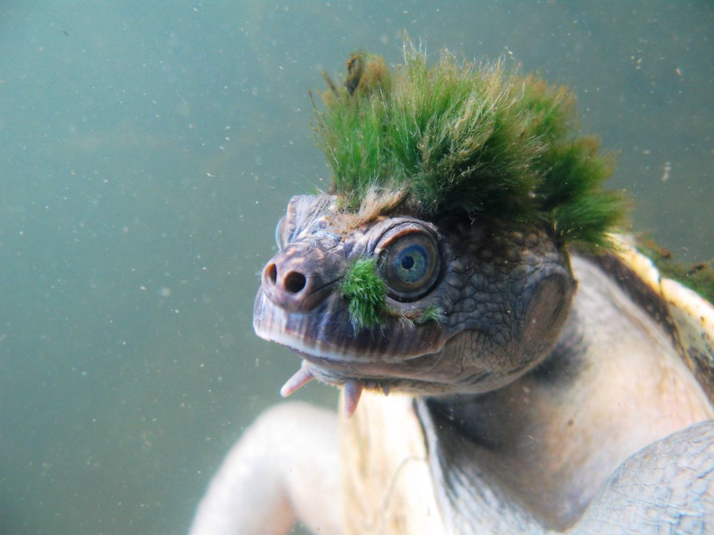 Mary River Turtle 5