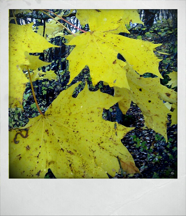 yellow big leaf phone photo by iHanna