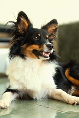 phalã¨ne(0.0), rough collie(0.0), collie(0.0), papillon(0.0), dog breed(1.0), animal(1.0), dog(1.0), pet(1.0), miniature australian shepherd(1.0), carnivoran(1.0), shetland sheepdog(1.0),