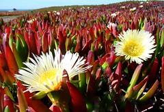 macro photography(0.0), flower(1.0), plant(1.0), nature(1.0), wildflower(1.0), flora(1.0), close-up(1.0), ice plant(1.0), petal(1.0),