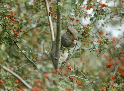 Squirell in the berry tree