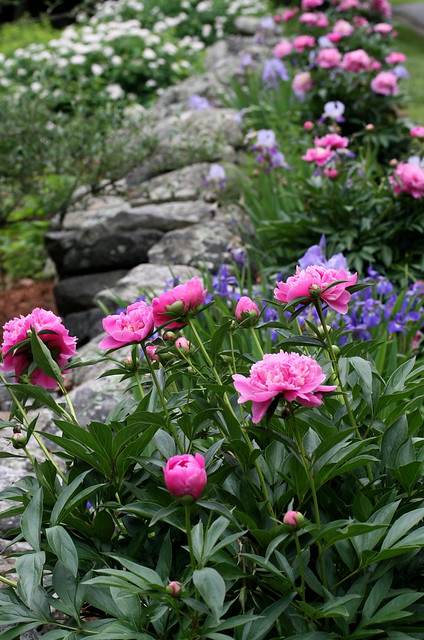 peony and iris border