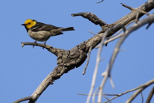 birds d200 tc14eii dendroicaoccidentalis hermitwarbler 200400f4vr sardinelakearea
