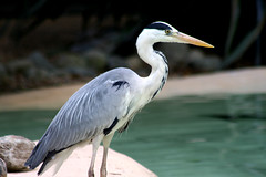 animal, wing, fauna, heron, pelecaniformes, beak, bird, wildlife,