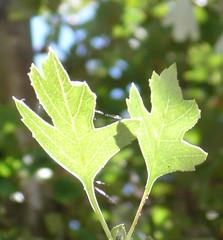 deciduous(0.0), shrub(0.0), flower(0.0), branch(0.0), tree(0.0), grape leaves(0.0), food(0.0), autumn(0.0), leaf(1.0), plant(1.0), produce(1.0), plant stem(1.0), maple leaf(1.0),