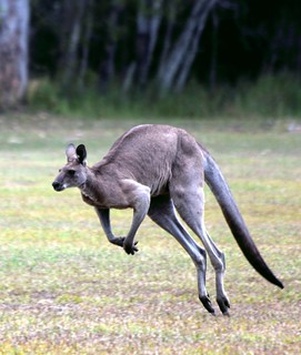 Jumping Kangaroo . Elanda Point