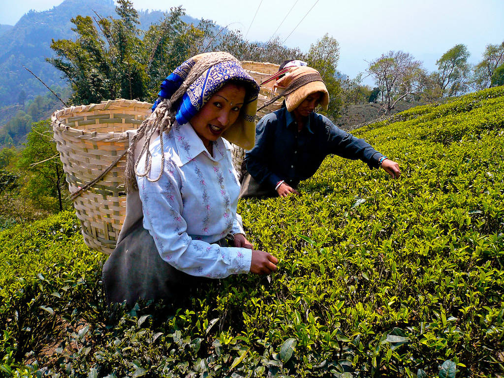 On a Tea Tourism in Darjeeling: Tea and Lodging