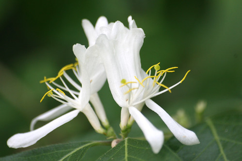Honeysuckle, Lonicera sp.