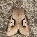 Noctuidae IX - 10470 - 10701