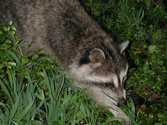 animal(1.0), raccoon(1.0), marsupial(1.0), mammal(1.0), grey fox(1.0), fauna(1.0), viverridae(1.0), procyon(1.0), wildlife(1.0),