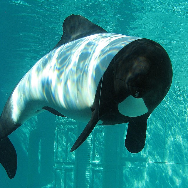 Commerson's dolphin | Flickr - Photo Sharing!