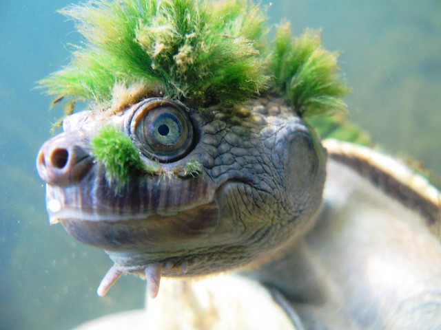 Mary River Turtle 13