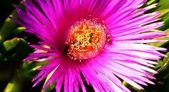 blossom(0.0), dorotheanthus bellidiformis(1.0), annual plant(1.0), flower(1.0), plant(1.0), macro photography(1.0), flora(1.0), close-up(1.0), ice plant(1.0), pink(1.0), petal(1.0),