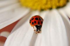 OOOLD ladybug