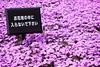 Photo:富士芝桜まつり Fuji Shibazakura Festival By かがみ~