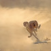 Cheetah running full speed chasing springbok prey by WildImages
