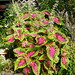 Coleus - Photo (c) Nemo's great uncle, some rights reserved (CC BY-NC-SA)